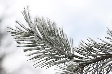 Frozen pine leaves