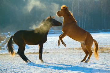 Two young horses playing in the winter.