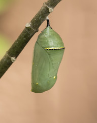Green monarch butterfly chrysalis with gold and black band hanging from a green milkweed branch with peach colored background