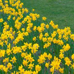 Frühlingserwachen: Leuchtend gelbe Osterglocken vor grüner Wiese, Frohe Ostern, bepflanzter Grünstreifen,  Stadtgrün, Parkanlage