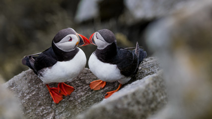 Two puffins head to head