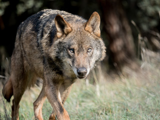 Male iberian wolf (Canis lupus signatus) stalking