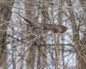 Great Grey Owl Taking Off From Tree