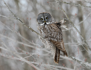 Great Gray Owl Perched in Trees