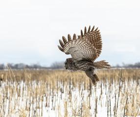 Great Grey Owl in Flight Over Corn Field in Winter