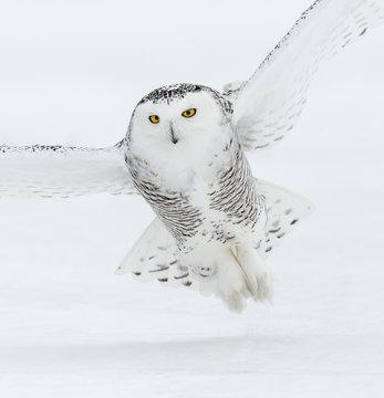 Snowy Owl in Flight in Winter