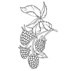 vector monochrome contour illustration of raspberry berries and leaves