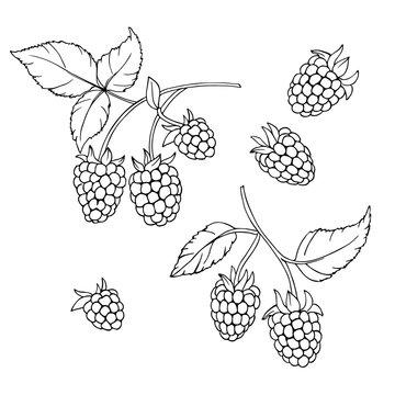 vector monochrome contour illustration of raspberry berries set