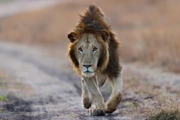 Wall Mural - Walking Lion early in the morning before sunrise in Masai Mara
