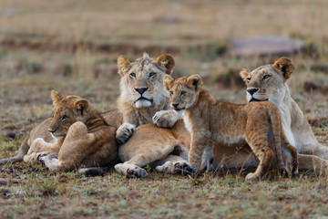 Wall Mural - Double Cross Lioness with some cubs in Masai Mara