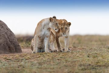 Wall Mural - Lions of Double Cross pride in Masai Mara
