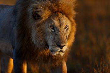 Wall Mural - Portrait of Lion Romeo 2 in Masai Mara
