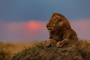 Wall Mural - Lion Earless late evening at sunrise in Masai Mara