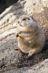 落ち葉を食べるプレーリードッグ