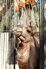 African camel head in the zoo
