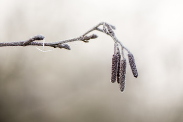 Alder (Alnus glutinosa) catkins covered with frost. Male flowers of tree in the family Betulaceae, seen covered in ice crystals on a winter morning