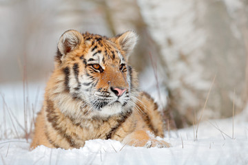 Siberian tiger in snow fall, birch tree. Amur tiger sitting in snow. Tiger in wild winter nature. Action wildlife scene with danger animal. Cold winter in tajga. Snowflake with beautiful background.