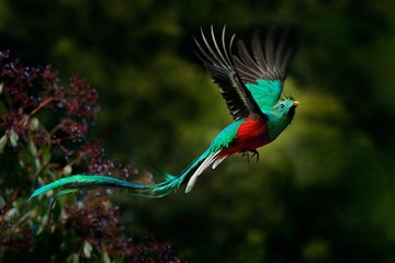 Printed roller blinds Bird Flying Resplendent Quetzal, Pharomachrus mocinno, Savegre in Costa Rica, with green forest background. Magnificent sacred green and red bird. Action fly moment with Resplendent Quetzal. Birdwatching