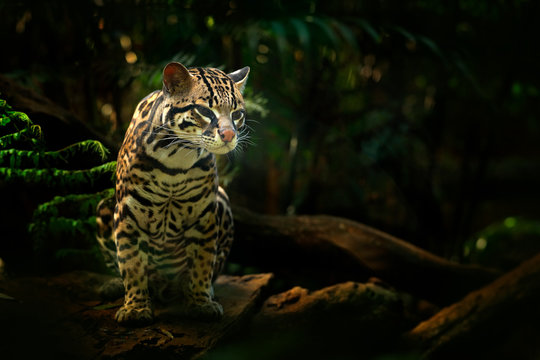 Wildlife in Costa Rica. Nice cat margay sitting on the branch in the costarican tropical forest. Detail portrait of ocelot, nice cat margay in costarican tropical forest. Animal in the nature habitat.