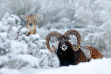 Male and female of Mouflon, Ovis orientalis, winter scene with snow in the forest, horned animal in the nature habitat. Portrait of mammal with big horn, Praha, Czech Republic. Two animals with snow.