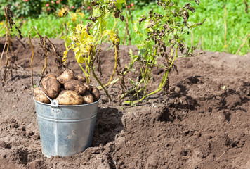 Freshly dug potatoes in metal bucket on the field in sunny day