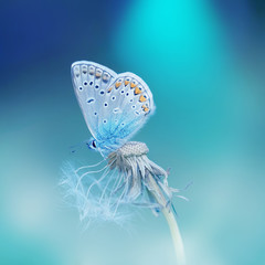 Beautiful tender delicate butterfly on a clean blue background close-up macro on a flower dandelion in spring on a beautiful blurred background. Dreamy romantic extraordinary artistic image.