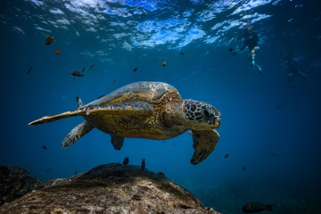 Turtle underwater closeup portrait