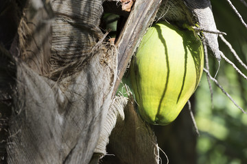 Green Coconut Hanging from Palm Tree