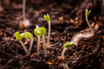 Thyme plant sprouts macro