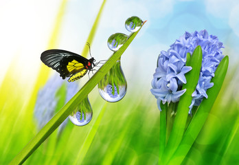 Wall Mural - Spring flower hyacinth and dew drops on green grass with butterfly.