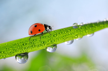 Fresh green spring grass with dew drops and ladybug closeup
