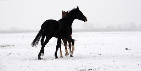 Pferdeballett, 2 junge Pferde scheinen im Schnee zu tanzen