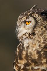 Spotted eagle-owl or eagle owl (Bubo africanus). KwaZulu Natal Midlands. South Africa