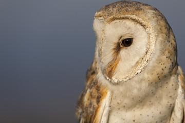 Barn owl (Tyto alba). KwaZulu Natal Midlands. South Africa