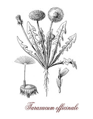 Taraxacum officinale or common dandelium, botanical vintage engraving. The yellow flowers turn in round balls or fruits dispersed with the wind known as blowballs or clocks