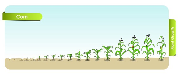 Есо Corn grows from the seed stage plant growing