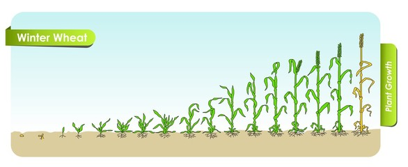 Есо Winter Wheat grows from the seed stage plant growing