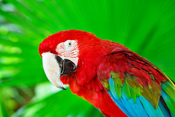 Portrait of colorful scarlet macaw parrot against jungle. Side view of wild ara parrot head in green background. Wildlife and rainforest exotic tropical birds.