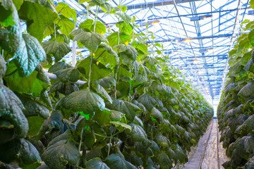 Plants in greenhouse. Cucumber plants growing