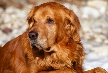 Close up Big Male Golden Retriever Outdoor Portrait