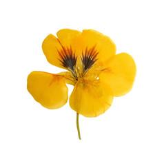 Pressed and dried delicate orange flowers nasturtium (tropaeolum