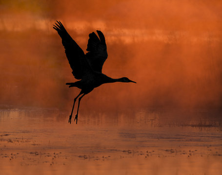 Rise With The Steam Fog - A sandhill crane rises from the roosting pond as the rising sun shines through the early morning steam fog from the water's surface. Monte Vista National Wildlife Refuge.