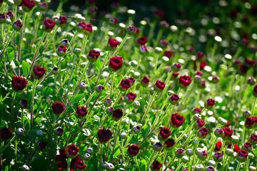 Red chrysanthemum flowers in the flowerbed