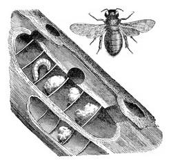 Xylocopa violocopa, vintage engraving.