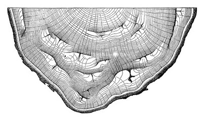 Cross section of an oak trunk presenting many slots due to sunbu
