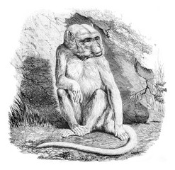 The albino monkey, a menagerie of the Museum of Natural History,