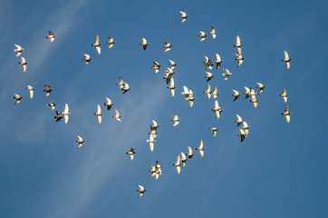 Flock of Rock Pigeons Flying in a Blue Sky