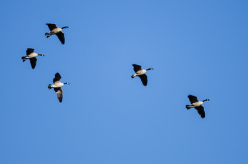 Small Flock of Canada Geese Flying in a Blue Sky