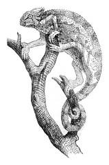 Chameleon, vintage engraving.