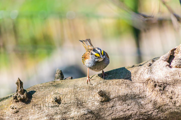 White-Throated Sparrow in Park